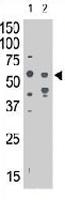 PAB3638 - CD328 / SIGLEC7
