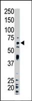 PAB4236 - Ubiquilin-1 (UBQLN1)