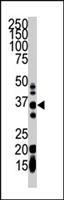 PAB4325 - GGPP synthetase