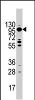 PAB4467 - Myosin-Ic