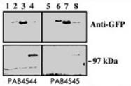PAB4545 - PRKD3