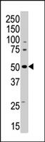 PAB4581 - AMPK gamma-3 chain / AMPKG3