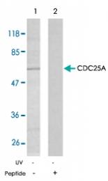 PAB5284 - CDC25A