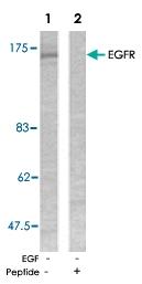 PAB5331 - EGFR / ERBB1