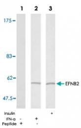 PAB5347 - Ephrin-B2