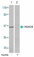PAB5387 - HDAC8