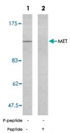 PAB5448 - HGF receptor