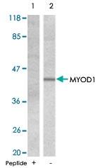 PAB5470 - MYOD1