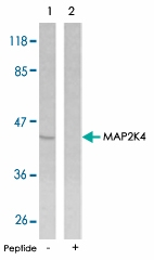 PAB5570 - MAP2K4