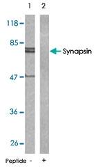 PAB5602 - Synapsin-1
