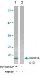 PAB5722 - Histone H3.1