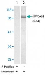 PAB5725 - HSP90AB1 / HSP90 beta