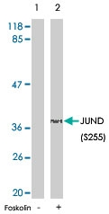 PAB5745 - JUND
