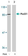 PAB5914 - PKD2L1