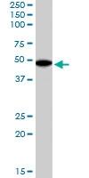 PAB6175 - Flotillin-2 / FLOT2