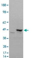 PAB6176 - Flotillin-1 / FLOT1