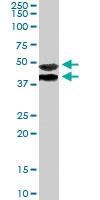 PAB6356 - TRIM54 / MURF3 / RNF30