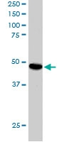 PAB6367 - Sorting nexin-15 (SNX15)