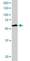 PAB6664 - 58K Golgi Protein