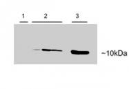 PAB6802 - Parvalbumin alpha / PVALB