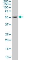 PAB6803 - Serotonin receptor 2C (HTR2C)