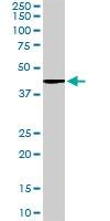 PAB6809 - Vitamin D3 receptor / NR1I1
