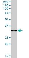 PAB6818 - Osteopontin / SPP1