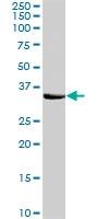 PAB6845 - Syntaxin 1A / 1B (STX1A / STX1B)