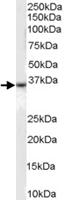 PAB6873 - CD234 / DARC
