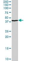 PAB7106 - QKI / Protein quaking
