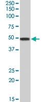 PAB7184 - Apolipoprotein A IV / ApoA4