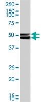 PAB7213 - NPY receptor 2 / NPY2R