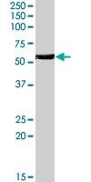 PAB7234 - Histamine H1 receptor