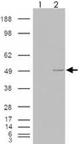 PAB7264 - Casein kinase I epsilon