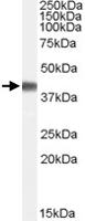 PAB7312 - Cyclophilin-40