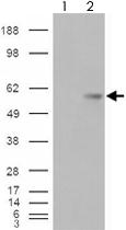 PAB7331 - VTCN1 / B7H4