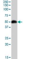 PAB7387 - Orexin receptor type 2