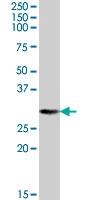 PAB7392 - 14-3-3 protein theta