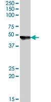 PAB7405 - Cytohesin 2