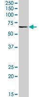 PAB7414 - Activin receptor type 1 / ACRV1