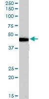 PAB7514 - Beta-3 adrenergic receptor