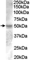 PAB7546 - Estrogen-related receptor gamma