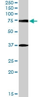 PAB7582 - Neuregulin 3