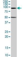 PAB7584 - Neuroligin-2