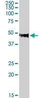 PAB7586 - Neuropeptide FF receptor 1