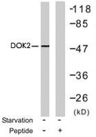PAB7679 - DOK2 / p56 dok2