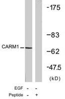 PAB7693 - CARM1 / PRMT4