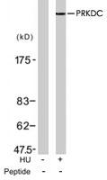 PAB7737 - DNA-PKcs / PRKDC / XRCC7