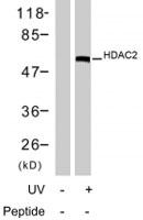 PAB7740 - HDAC2