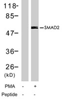 PAB7759 - SMAD2